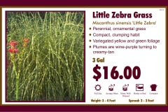 Little Zebra Grass