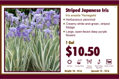 Striped Japanese Iris