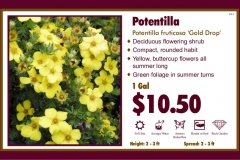 1_cards_015825 - Potentilla