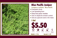 1_cards_021238 - Blue Pacific Juniper