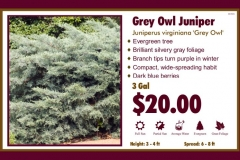 1_cards_021353 - Grey Owl Juniper