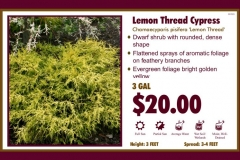 1_cards_021905 - Lemon Thread Cypress